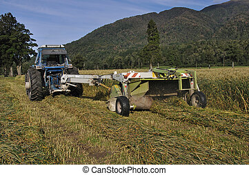 mowing triticale for silage - Farmers harvest a crop of...