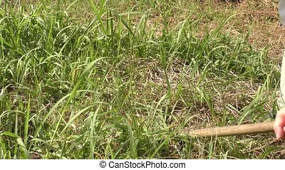 Mowing weeds with a sickle in cultivated land