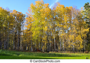 Mown meadow with green grass near autumn golden colored birch forest