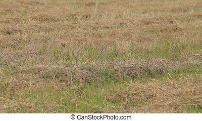 Mown straw lying on green grass. Wind shaken grass, grass...