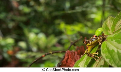 Moyobamba Snouted Treefrog - Scinax funereus, On a leaf in...
