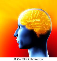 mozek, -, 3, illustration.