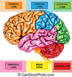 mozek, postranní, lidský, názor
