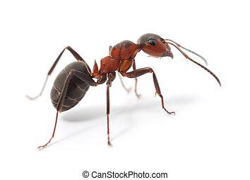 mrówka, odizolowany, czerwony