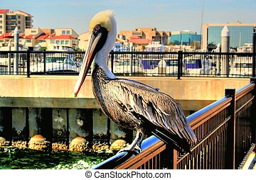 Mr. Pelocan - A pelican, looking for a handout, watches...