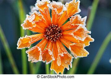 mroźny, kwiat