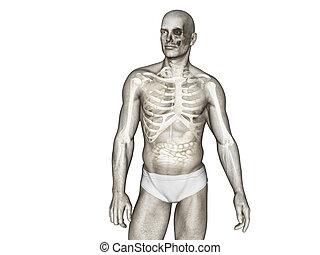 mrtvola, anatomie, ilustrace, lidský