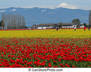 Mt Baker Above the Tulip Fields