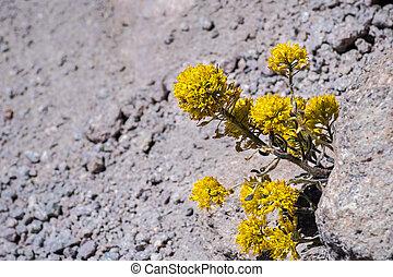 Mt. Lassen draba (Draba aureola) wildflowers blooming among ...