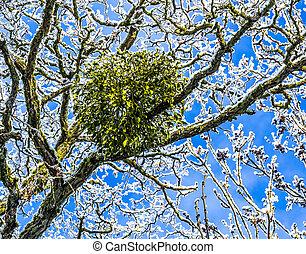 muérdago, árbol