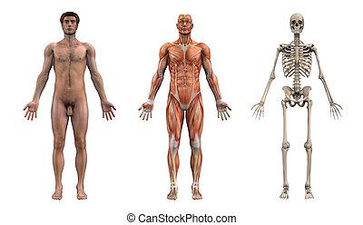 mužský, anatomický, overlays, -, dospělý