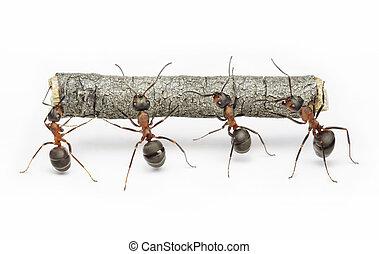 mužstvo, o, mravenec, běžet, s, poleno, kolektivní práce