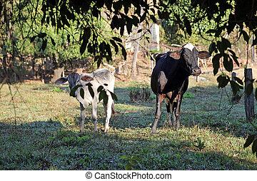 mucca, con, vitello, in, recinto per bestiame
