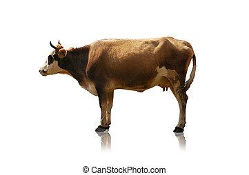 mucca, isolato