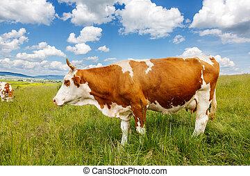 mucca marrone, campo