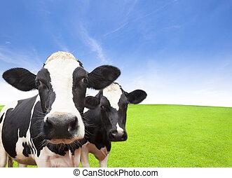 mucca, su, erba verde, campo, con, nuvola, fondo