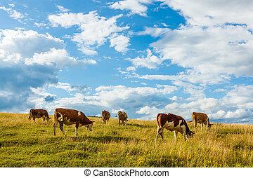 mucche, campo, pascolo, gregge