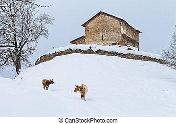 mucche, georgia, neve