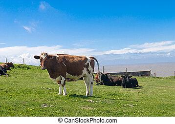mucche, in, uno, bello, soleggiato, pasture.