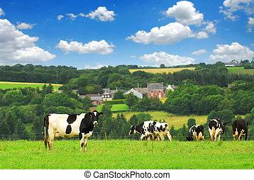 mucche, in, uno, pascolo