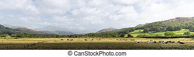 mucche, inghilterra, distretto lago, prati