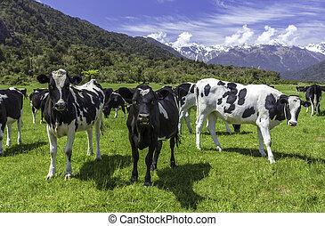 mucche, latteria