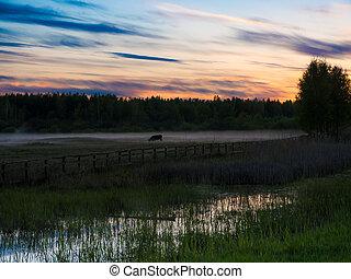 mucche, nebbioso, sopra, tramonto, campo