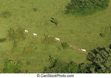 mucche, percorso, camminare, prato
