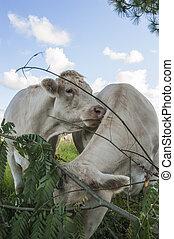 mucche, prato, due