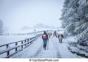 mucche, valle montagna, nevoso