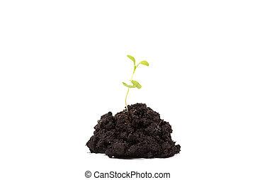mucchio, sporcizia, con, uno, pianta verde, germoglio