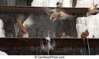 mucha, wodospad, poza, zima, kaczka