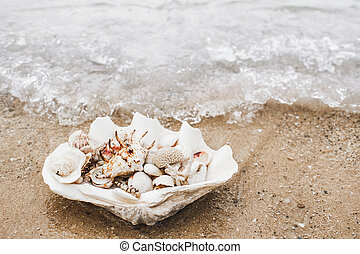 muchos, playa, conchas marinas, océano, tridacna, inmenso, ...