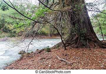 mucronatum, montezuma, 糸杉, taxodium, guatema