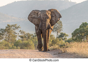 Mud-covered african elephant walking towards the camera in a road