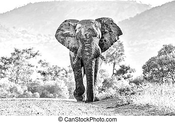 Mud-covered african elephant walking towards the camera. Monochrome