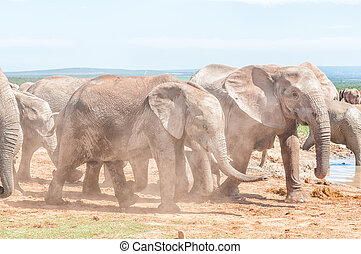 Mud covered african elephants walking in dust