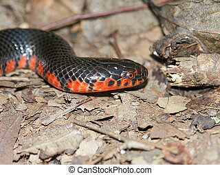 Mud Snake Illinois Wildlife