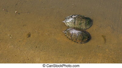 Mud Turtle in water - This is a video of some Mud Turtles in...