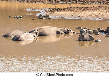 A small family of Hippos sleeping by the shores of a small lake at the Pilanesberg National park in South Africa