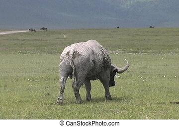 Muddy Cape Buffalo walking away in the Ngorongoro crater in Tanzania