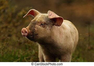 young pink pig portrait