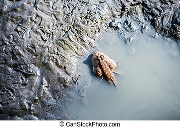 mudskipper fish on the land and sea