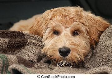 muede, junger hund