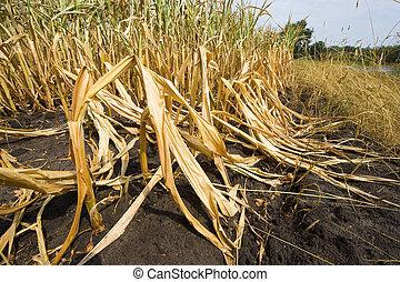 muerto, maíz