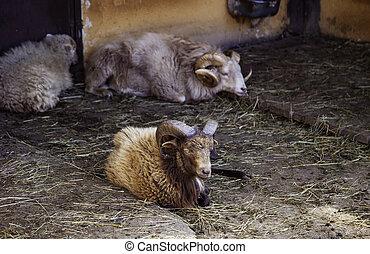 Muflon on a farm