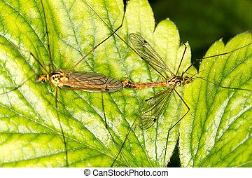 muggen, vrijen; de liefde bedrijven