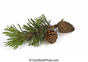 mugho, dennenboom, tak, en, kegel