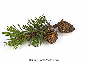 Mugho pine branch and cones isolated on white background
