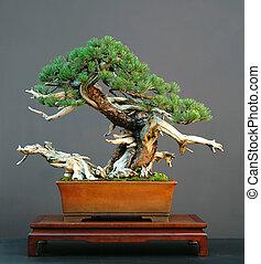 mugo, bonsai, deadwood, pino